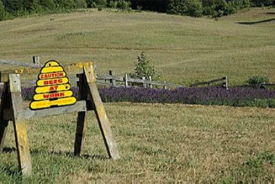 Happy Bees Make Lovely Lavender Honey
